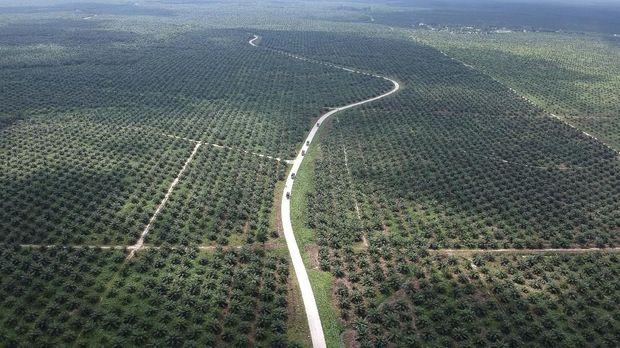 Ilustrasi perkebunan sawit. PT ALAM diduga menguasai dan mengalihfungsikan kawasan hutan milik negara seluas 366 hektare di tiga kecamatan di Kabupaten Langkat menjadi kebun sawit.
