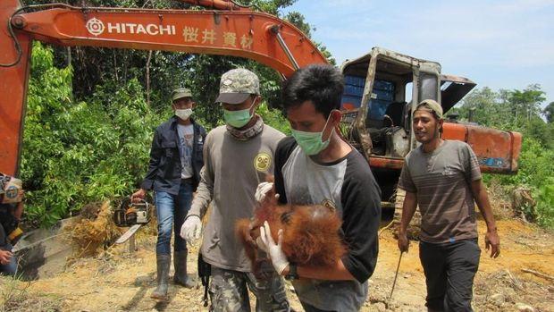 Pertiwi digotong tim penyelamat dari perkebunan warga.