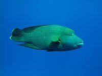 Cara Ramah Lingkungan Orang Bajo Mendapat Ikan: Memanah dan Menombak