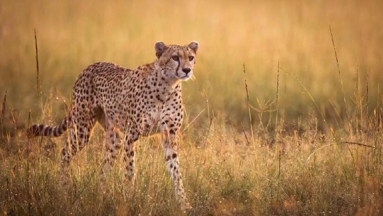 Foto: Ilustrasi cheetah (iStock)