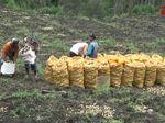 Petani Probolinggo Panen saat Gunung Bromo Erupsi