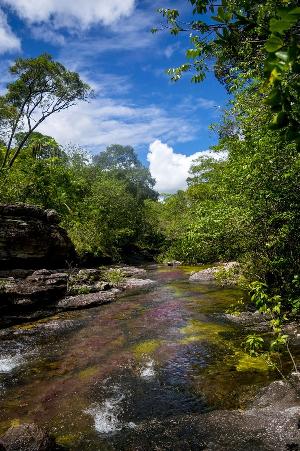 Menurut otoriter lingkungan setempat, tanaman langka atau endemik yang menyebabkan beragam warna itu disebut macarenia xlavigera. Tanaman inilah yang menghiasi dasar Sungai Cano Cristales sepanjang 100 Km. (iStock)