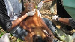 BKSDA Aceh Lepas 2 Orang Utan yang Disita dari Warga ke Cagar Alam