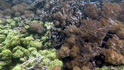 Belajar Merawat Laut dengan Transplantasi Terumbu Karang