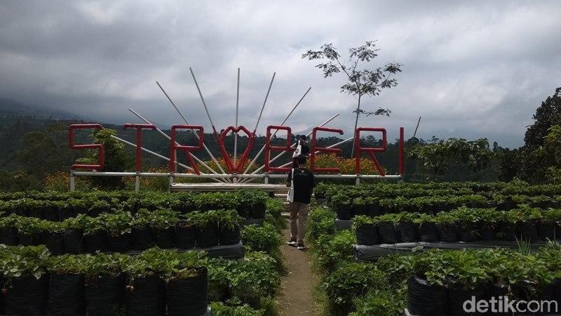 Lokasi agrowisata petik buah stroberi di Banyuroto, Kecamatan Sawangan, Kabupaten Magelang, tak jauh dari Ketep Pass Magelang. Melihat pemandangan hijau lahan pertanian di kawasan ini, nantinya menemukan Kebun Inggit Strawberry. (Eko Susanto/detikcom)