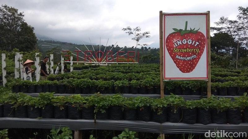 Memetik buah stroberi langsung dari kebunnya bisa datang ke Agrowisata Banyuroto, Kecamatan Sawangan, Kabupaten Magelang. (Eko Susanto/detikcom)