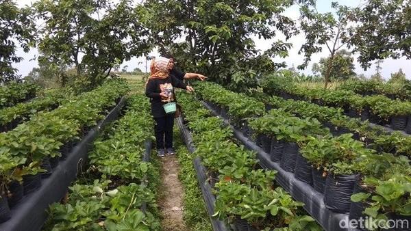 Pengunjung bisa memetik langsung buah stroberi yang diinginkan. Selain memetik buah stroberi secara langsung, pengunjung juga bisa selfie di area kebun stroberi tersebut. Bahkan di sediakan pula spot selfie. (Eko Susanto/detikcom)