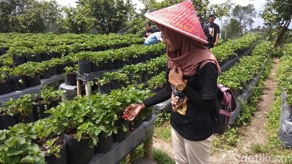 Setelah memetik buah stroberi, sebelumnya meninggalkan lokasi buah stroberi terlebih dahulu hasilnya ditimbang. Untuk Senin-Jumat harga per ons stroberi Rp 10.000. (Eko Susanto/detikcom)