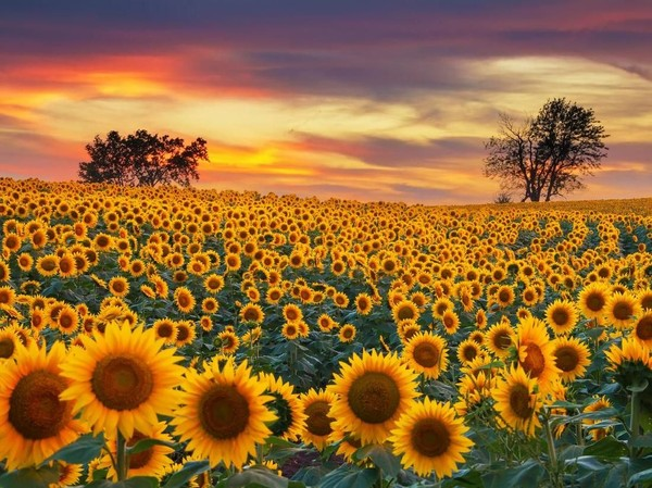 Manfaat Bunga Matahari Yang Belum Banyak Orang Tahu