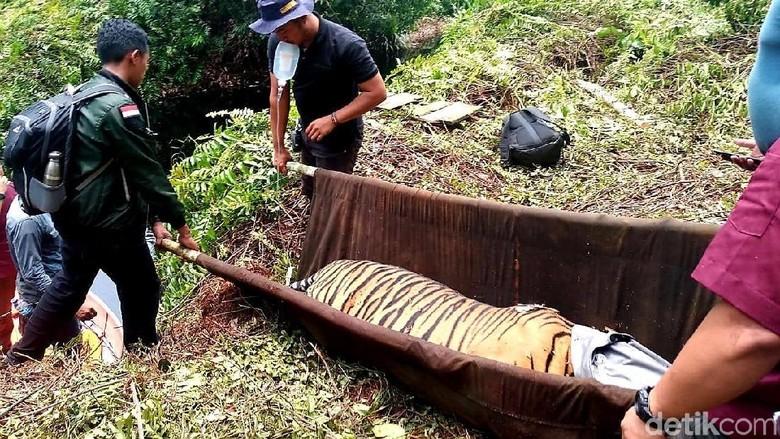 Kasihan, Harimau Sumatera Terjerat Kawat di Hutan Pelalawan Riau