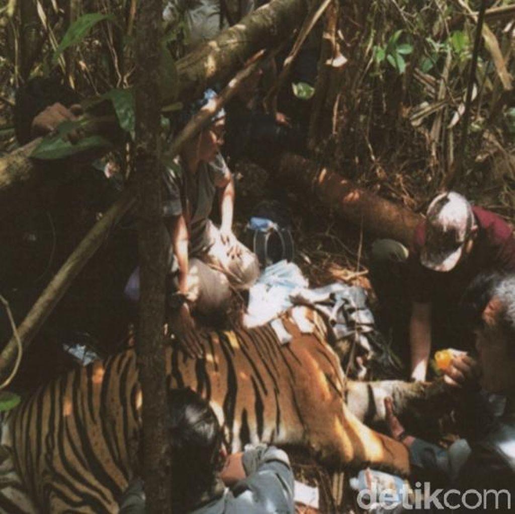 Cerita Mengerikan Tim Patroli Saat Temukan Harimau Terjerat Kawat di Riau