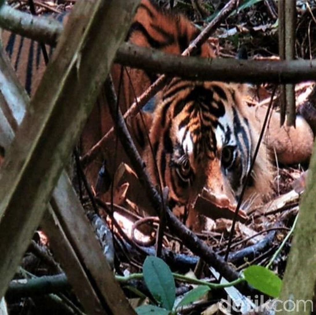 Harimau Terjerat di Hutan, BBKSDA Riau: Bukti Perburuan Masih Ada