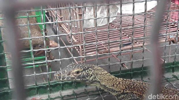 Komodo, salah satu hewan yang diperjualbelikan