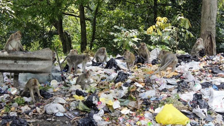 Kasihan, Kera Ekor Panjang Ini Mengorek Sampah untuk Makan