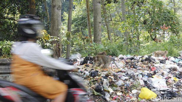 Kera Ekor Panjang Serang Pembuangan Sampah Liar di Curug Cimahi