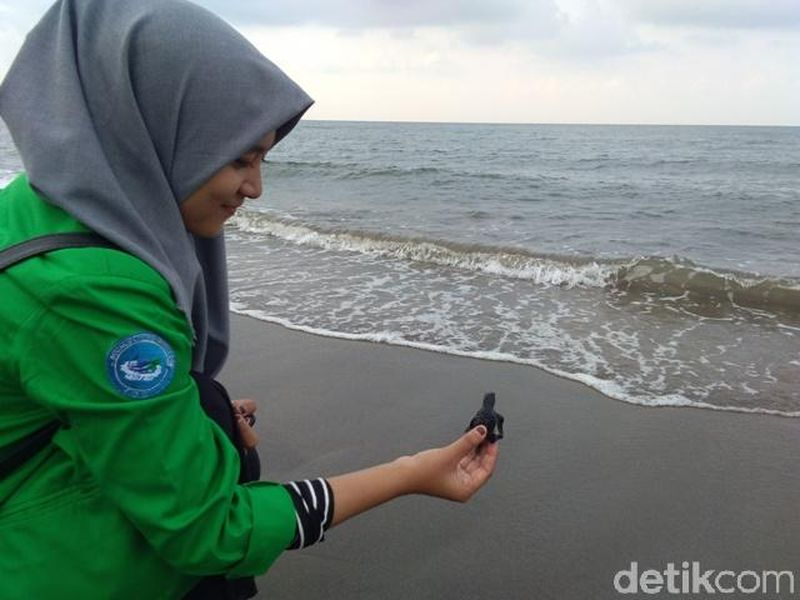 Mereka mencari telur penyu ke pelosok pesisir Pantai Aceh Utara untuk ditetaskan, hingga menjadi tukik (Datok Haris Molana/detikcom)