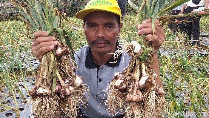 Panen bawang putih Temanggung