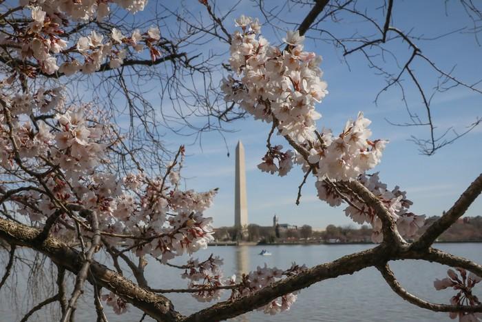 Tak Hanya Di Jepang Bunga Sakura Juga Bermekaran Di As