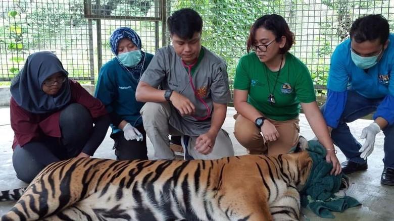 Harimau Inung Rio Mati Akibat Tumor di Mulut
