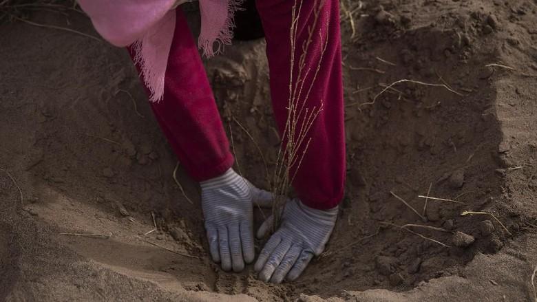 Melihat Peran Perempuan dalam Penghijauan Gurun di China