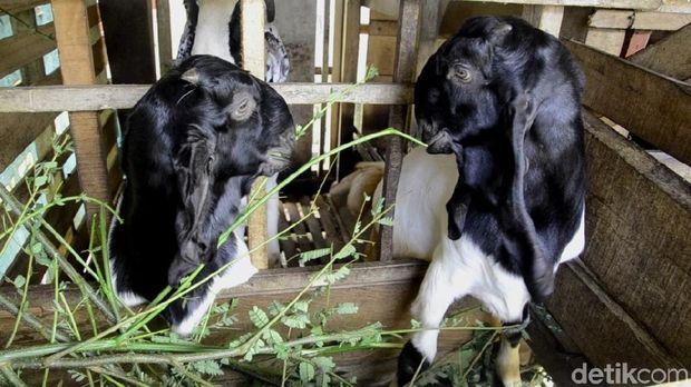 2 Pekan Terakhir, 19 Ternak Kambing di Pekalongan Mati Misterus