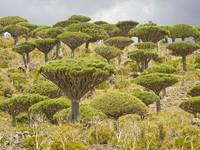 Jika dihitung, ada sekitar 825 spesies tumbuhan langka. Salah satu tumbuhan yang paling sering ditemukan wisatawan adalah pohon dengan bentuk ranting yang unik. (iStock)