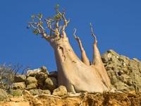 Pohon lain yang unik dan endemik di Socotra adalah pohon jenis sukun-sukunan, pohon mentimun raksasa. Socotra juga dihuni oleh pohon delima yang langka, dan pohon mawar gurun khas Socotra. (iStock)