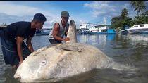 Bangkai Ikan Sunfish Ditemukan Keluarkan Minyak di Teluk Ambon