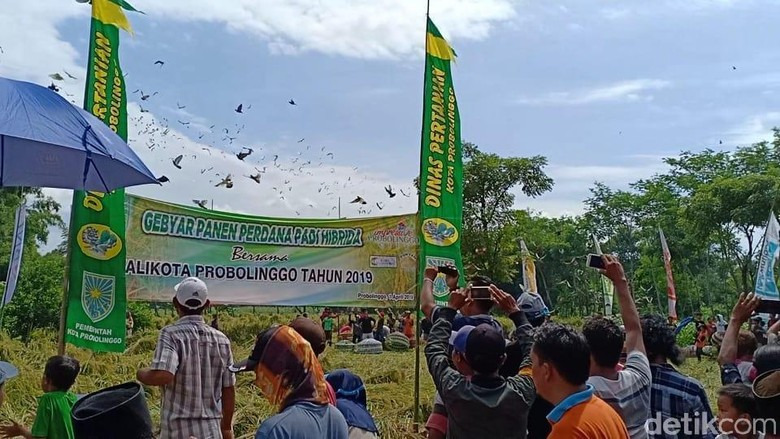 Tottaan, Tradisi Lepas Merpati Sebagai Syukur Panen Padi di Probolinggo