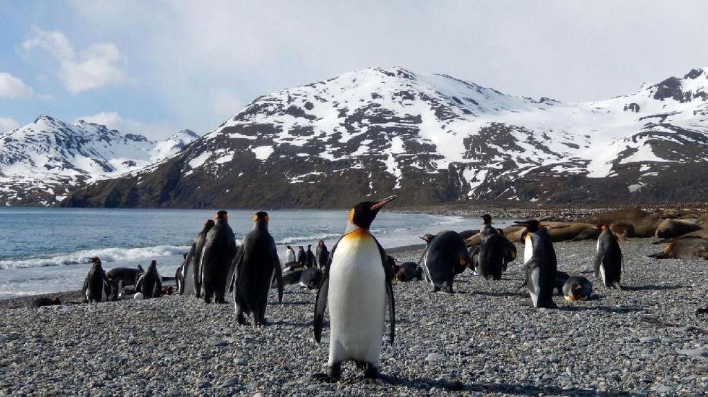 Populasi Penguin Merosot Tajam, Tanda Bumi Makin Panas?