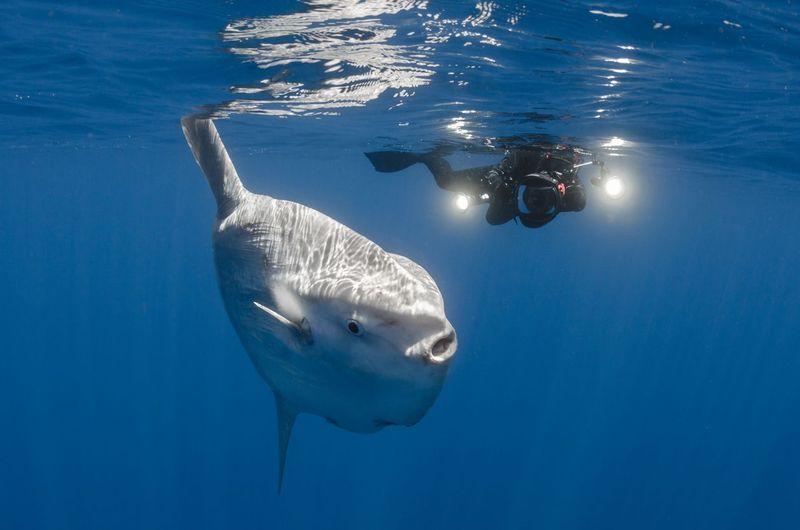 Sunfish alias ikan mola-mola begitu unik dengan bentuk badannya yang bulat pipih, bersirip menjulang ke atas dan ke bawah. Agak berbeda dengan ikan pada umumnya (iStock)
