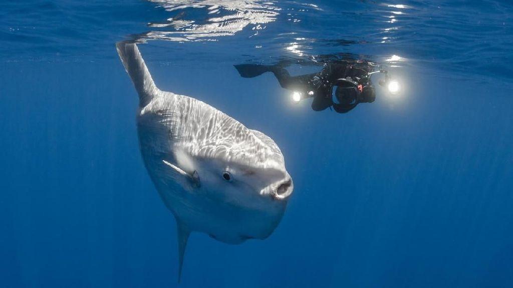 Foto: Ikan Mola-mola yang Ajaib