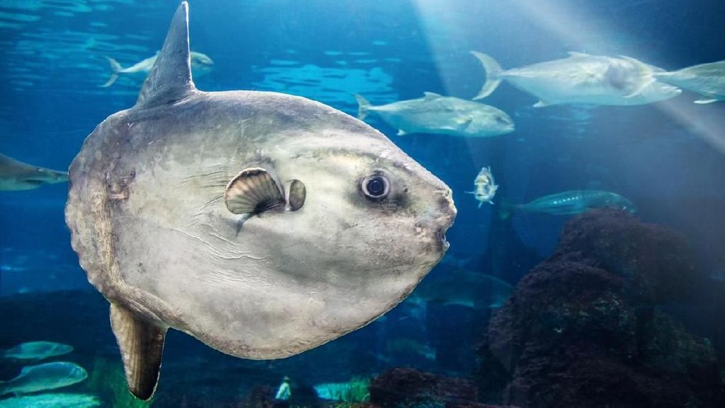 Ikan Mola-mola Muncul di Amerika Malah Bikin Panik