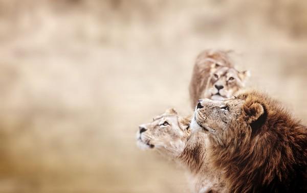 Tapi kini, pemerintah Tanzania sudah melarang hal tersebut demi menjaga habitat singa. Caranya dengan membuat area konservasi, sehingga singa-singa dilindungi dari perburuan (iStock)