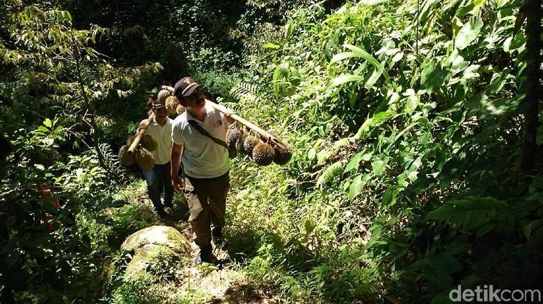 Berpetualang Sambil Nikmati Durian Langsung dari Pohon, Ada Kok di Trenggalek