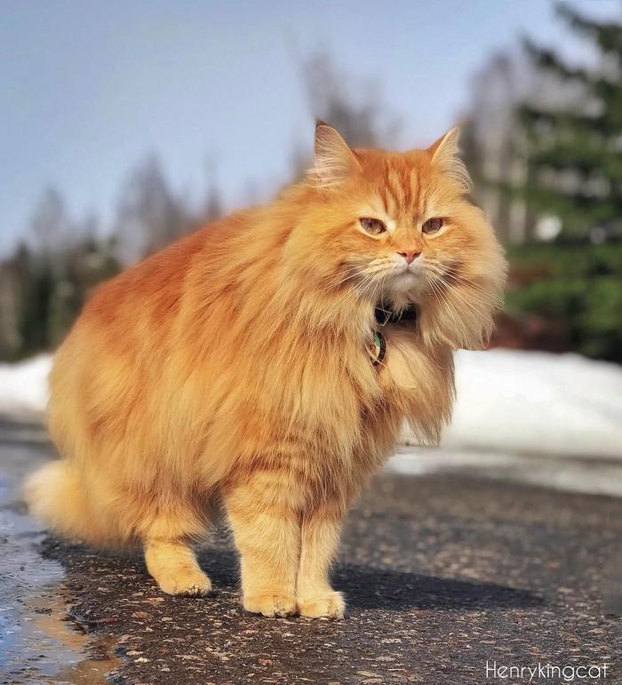 Henry adalah kucing jenis Siberian Breed yang lahir pada 17 Oktober 2014. Pemiliknya sengaja membuatkan instagram untuk kucing kesayangannya ini. Foto: instagram @henrykingcat