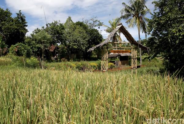 Tempatnya nyaman untuk relaksasi menikmati pedesaan yang asri dan khas. Desa Wisata Osing atau Using ini berada di Desa Kemiren, Kecamatan Glagah di Kabupaten Banyuwangi. (Rachman Haryanto/detikcom)