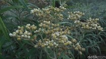 Foto: Perkebunan Bunga Abadi Edelweis di Gunung Bromo