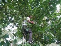 Pengunjung akan disuguhi oleh hamparan pepohonan durian maupun manggis yang ditanam secara berdampingan. Kawasan IDF di Desa Dukuh tersebut cukup asri dan terjaga kelestariannya (Adhar Muttaqin/detikcom)
