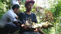 Di kawasan tersebut, pengunjung akan disuguhi durian lokal yang masih segar dari pohonnya. Anda pun dapat menikmati raja buah langsung di tengah hutan dan tentu akan menjadi sensasi tersendiri (Adhar Muttaqin/detikcom)