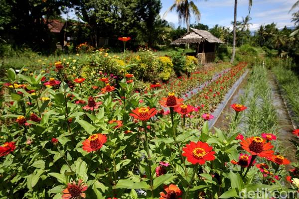 Berlibur di Banyuwangi sambil menikmati indahnya pedesaan asli memang sangat menyenangkan. Apalagi di depan gerbang Desa Wisata Osing ini terdapat kebun bunga yang instagramble banget. (Rachman Haryanto/detikcom)