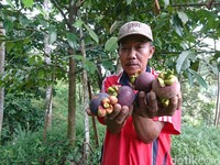 Selain buah durian, di lokasi yang sama, pengunjung juga bisa mengetahui dan menikmati buah manggis yang dipetik langsung dari pohon (Adhar Muttaqin/detikcom)