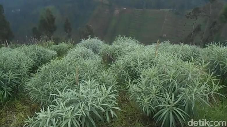Taman Edelweis Wonokitri, Pasuruan (Muhajir Arifin/detikcom)