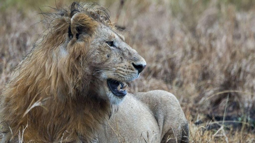 Tragis! Pemburu Badak Tewas Diinjak Gajah Lalu Dimangsa Singa