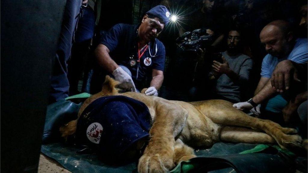 Kondisi Parah! Hewan-hewan di Kebun Binatang Gaza Dievakuasi
