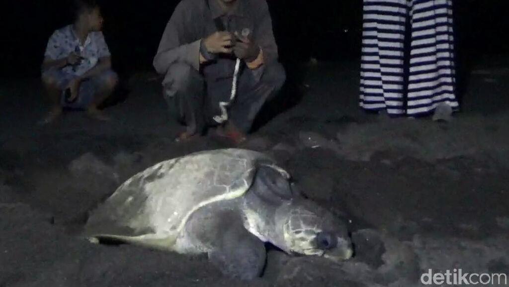 Melihat Momen Langka Penyu Bertelur di Pantai Marina Boom Banyuwangi