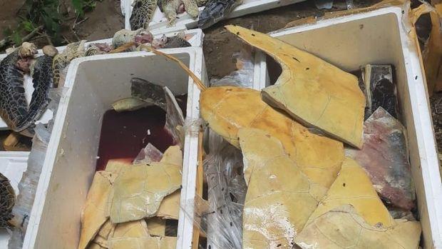 Delapan boks daging penyu ilegal asal Nusa Tenggara Timur (NTT) dimusnahkan Balai Konservasi dan Sumber Daya Alam (BKSDA) Provinsi Bali.