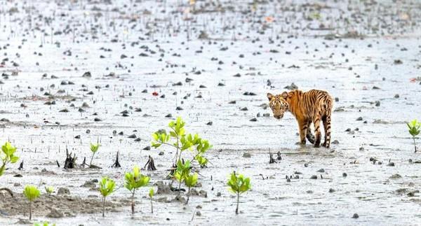 Harimaunya bersembunyi jauh di kedalaman hutan, berenang dari pulau ke pulau dan telah dikenal untuk menyerang apa pun, atau siapa saja yang berani berjalan terlalu dekat (BBC Travel)
