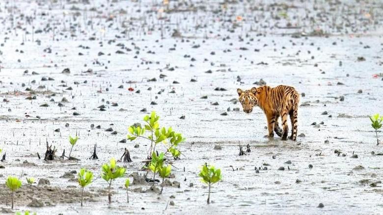 Harimau Bengal Taman Nasional Sundarbans (BBC Travel)