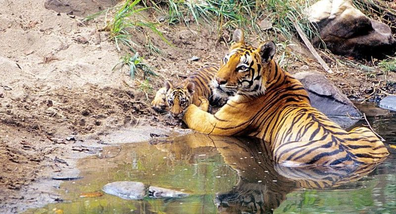 Lokasi penduduk dan Harimau Royal Bengal tinggal ada di hutan bakau yang lebat membentang di perbatasan India-Bangladesh. Harimau juga Dewi menyatukan umat Hindu dan Muslim di sana (BBC Travel)